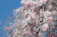 さんむの桜01